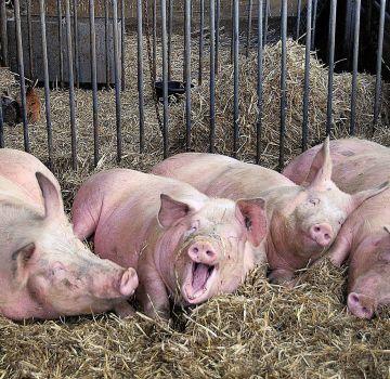 El agente causal y las causas de la sarna en los cerdos, los síntomas y los métodos de tratamiento.