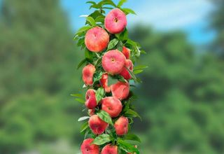 Opis sorti zrna breskve, njihova sadnja i briga, pravila poljoprivredne tehnologije