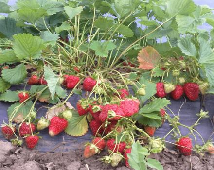 Wie man Erdbeeren nach der Frigo-Methode pflanzt und pflegt