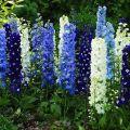 Descrizione delle migliori varietà di delphinium neozelandese e della sua coltivazione