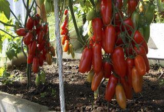 Charakteristiky a opis odrody paradajok Zhigalo, jej výnos