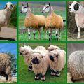 Les nuances de l'élevage de moutons de races à viande, leur vitesse de croissance et les règles d'alimentation