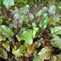 Por qué las hojas de remolacha se vuelven rojas y qué se debe hacer