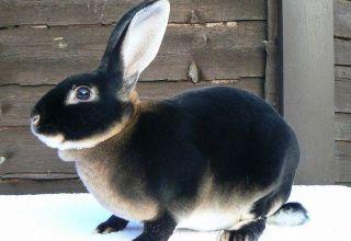 TOP 5 rassen van zwarte konijnen en hun beschrijving, regels voor verzorging en onderhoud