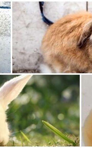 ¿Por qué la orina del conejo se puso roja y qué hacer, medidas preventivas?