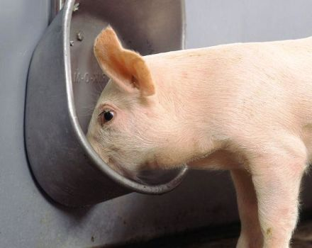 Types and requirements for drinking bowls for pigs, how to do it yourself and installation