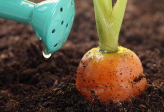 Comment nourrir correctement les carottes pour la croissance en plein champ avec des remèdes populaires