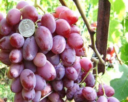 Descripción y características de las uvas Victor, pros y contras, cultivo.