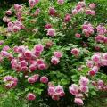Descripción de la rosa trepadora de la variedad Jazmín, reglas de plantación y cuidado.