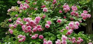 Descrierea trandafirului de catarare a soiului de iasomie, reguli de plantare și îngrijire