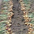 ¿Cómo determinar cuándo retirar las cebollas del jardín para almacenarlas?