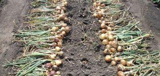 Kuinka selvittää, milloin sipulit poistetaan puutarhasta varastointia varten?