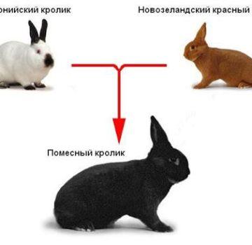 ¿Es posible y cuáles son las opciones para cruzar diferentes razas de conejos, tabla