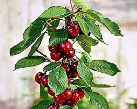 Descrierea și caracteristicile soiurilor de cireșe columnare, plantare și îngrijire, modul de prune