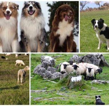 Opis 11 najboljih pasmina pasa koje pasju ovce i kako odabrati štene
