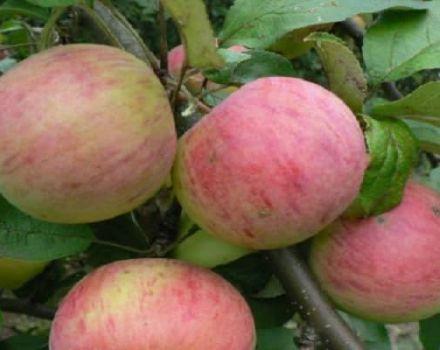 A Vityaz almafajta és a gyümölcsök ízjellemzőinek leírása, hozam