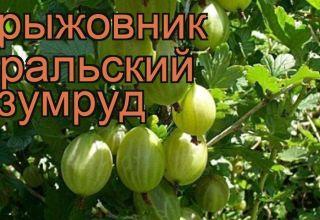 Descripción y características de la variedad de grosella espinosa Ural esmeralda, plantación y cuidado.