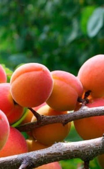 Prečo marhuľové kvety, ale neprináša ovocie, dôvody a čo s tým robiť