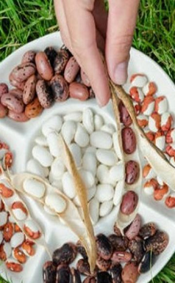 Χρήσιμες και επιβλαβείς ιδιότητες των φασολιών για την υγεία του σώματος