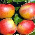 Descrierea și caracteristicile varietății de meri Sweet Nega, indicatori de randament și recenzii ale grădinarilor