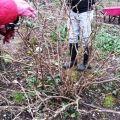 Cómo cultivar y cuidar las grosellas para una buena cosecha.