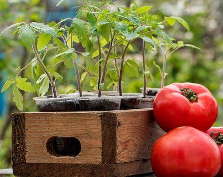 Después de qué cultivos pueden y será mejor plantar tomates.