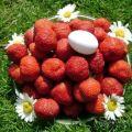 Az eper ültetése, termesztése és gondozása a szibériai nyílt terepen és a legjobb fajták számára
