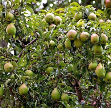 Descripción y características de la variedad de pera Memory Zhegalova, plantación y cuidado.