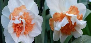 Opis i značajke sorte narcisa Delnasho, pravila sadnje i njege biljaka