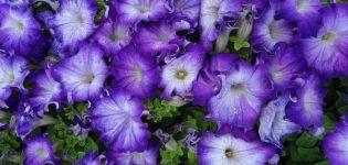 Caracteristicile și descrierea petuniei Sophistika, plantarea și îngrijirea