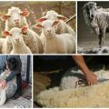 Kedy a ako strihať ovce, postupné pokyny a čo používať