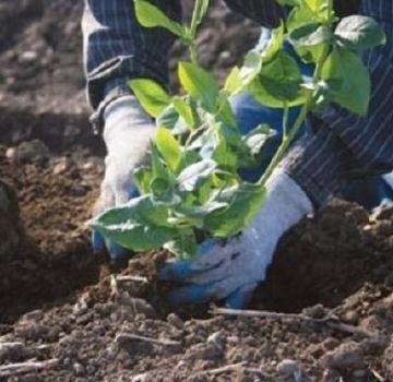 ¿Qué composición del suelo se necesita para los arándanos de jardín y cómo hacerlo usted mismo?