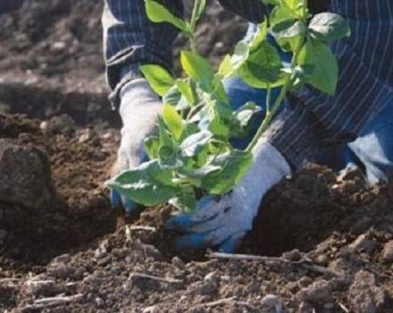 Milyen talajösszetételre van szükség a kerti áfonya számára, és hogyan lehet azt elkészíteni