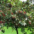 Qué se puede plantar junto a una cereza en el jardín, compatibilidad con otras plantas y el vecindario adecuado.