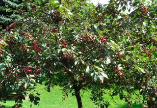 Mit lehet ültetni egy cseresznyefajta mellett a kertben, összeegyeztethetőség más növényekkel és a megfelelő szomszédságban