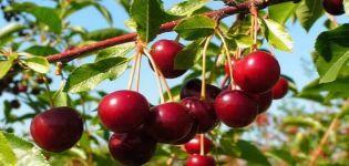 Charakteristika odrody čerešní Novella, opis ovocia a opeľovačov, výsadba a starostlivosť