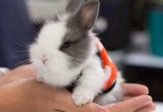Descripción y clasificación de conejos decorativos y cómo determinar la raza.