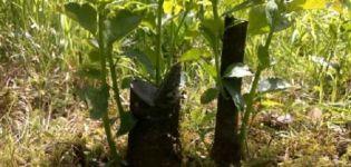 Cum să propagați pruna de cireș cu semințe, butași și straturi acasă