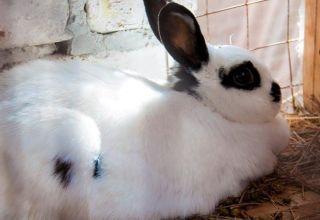 ¿Cuánto dura el embarazo en conejos y cómo determinar la fertilidad, el cuidado?