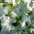Tratamiento de enfermedades de pepinos en invernadero después de la siembra, medios de procesamiento.