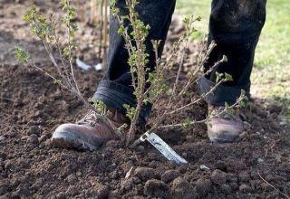 ¿Cuándo se pueden trasplantar grosellas a un nuevo lugar, en primavera u otoño, y cómo
