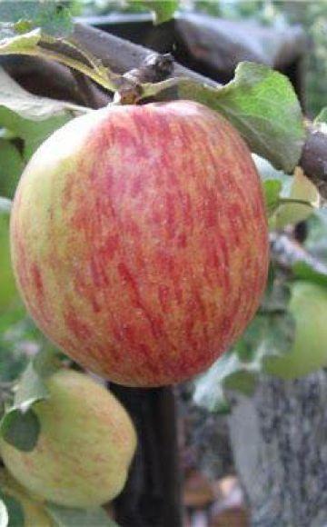 Orlovskoe-raidallisen omenapuun kuvaus ja ominaisuudet, istutus ja hoito