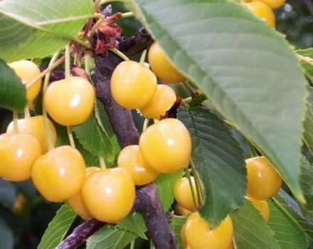 A Chermashnaya cseresznyefajta leírása és jellemzői, a beporzók és a termesztés