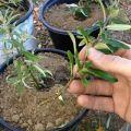 Formas y métodos de criar espino amarillo en casa.