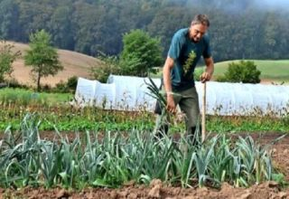 ¿Cuándo necesita cosechar cebollas en 2020 de acuerdo con el calendario lunar para el almacenamiento?