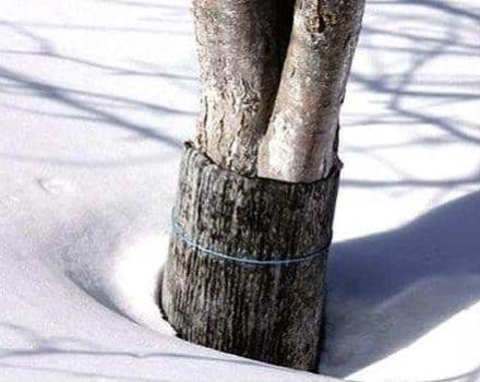 Comment bien préparer les jeunes pommiers pour l'hiver et pourquoi la couverture, les matériaux et le guide étape par étape