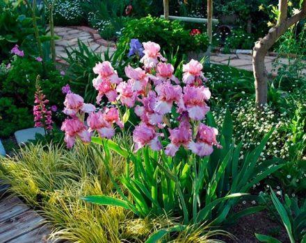 Con qué flores en el macizo de flores se combinan los lirios, qué plantar a continuación