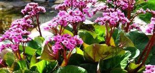 Plantación y cuidado de badan en campo abierto, descripción de variedades y especies.