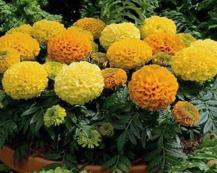 Az Antigua körömvirág fajtájának jellemzői és leírása, az ültetési és gondozási szabályok