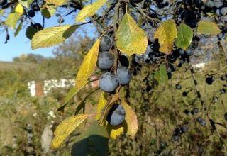 Cum să plantezi, să crești și să îngrijești prunele, tratamentul împotriva bolilor și dăunătorilor